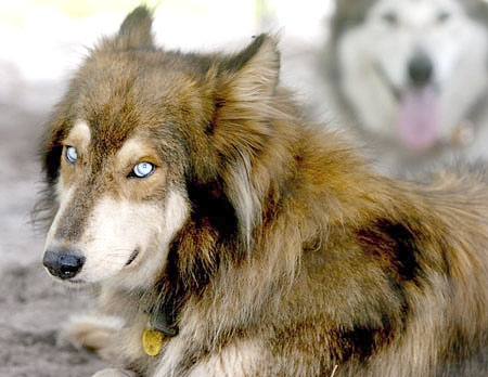 Древние мексиканцы скрещивали собак и волков.