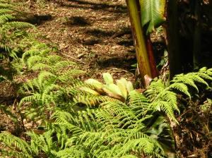 Costa Rica: Banana Plant
