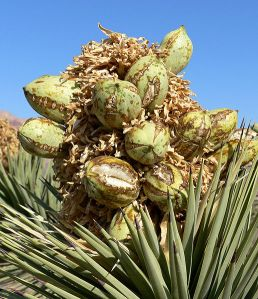 516px-yucca_brevifolia_20