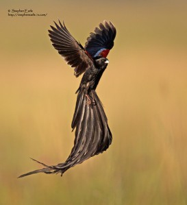long-tailed widowbird in flight