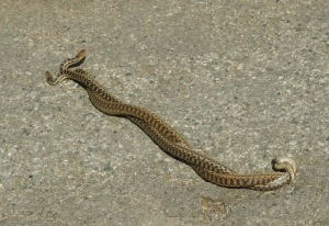 mating gopher snakes