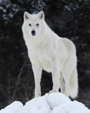 Arctic_wolf_by_Arctic_Wolf_Alpine