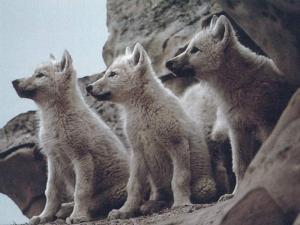 baby-wolves