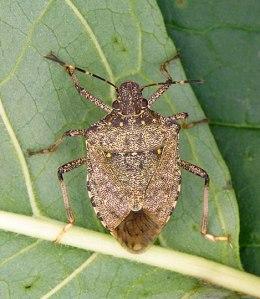 adult-male-full-stink-bug
