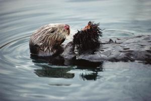 A sea otter eats an urchin along California's central coast. Each individual otter around the Monterey Peninsula specializes in only two or three foods.
