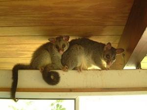 Brushtail Possum in home