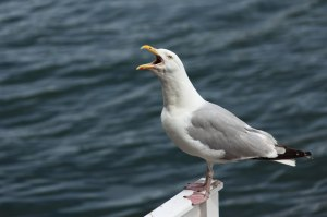 screaming-seagull-871281366461T69A (1)