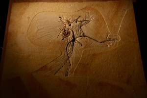 Archaeopteryx lithographica: The Thermopolis Specimen.