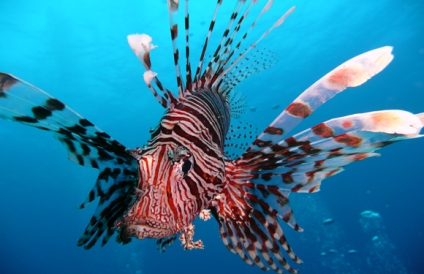 lionfish-facts-eating-8016