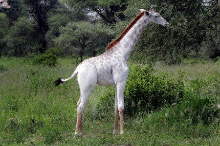 White giraffe Omo