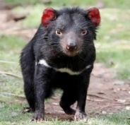 where-to-see-the-tasmanian-devil-bonorong-300x290