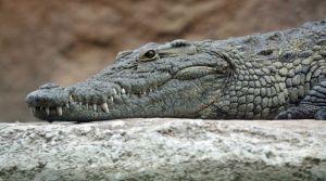 1280px-nile_crocodile_head