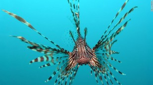 151118153748-invasive-lionfish-exlarge-169