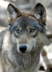 Gray Wolf Wyoming
