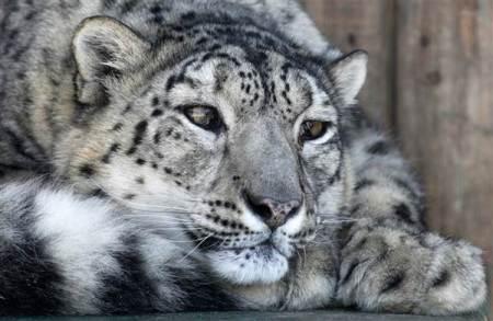 170317-snow-leopard-russia-cr-0837_01_e34936cb2020d488754450c9f72be4d6.nbcnews-ux-600-480.jpg