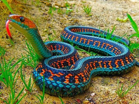 California-Red-Sided-Garter-Snake.jpg